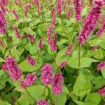 Persicaria amplexicaulis 'Lisan' - Duizendknoop - Persicaria amplexicaulis 'Lisan'