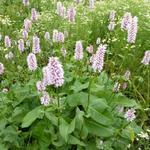 Persicaria bistorta 'Superba' - Adderwortel - Persicaria bistorta 'Superba'