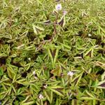 Duizendknoop - Persicaria microcephala 'Purple Fantasy'