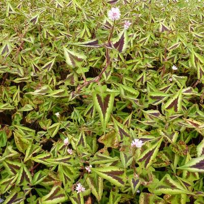 Persicaria microcephala 'Purple Fantasy' -