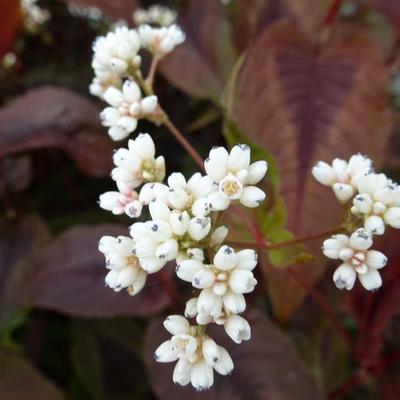 Persicaria microcephala 'Red Dragon' -