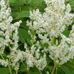 Persicaria polymorpha - Duizendknoop (veelvormige) - Persicaria polymorpha
