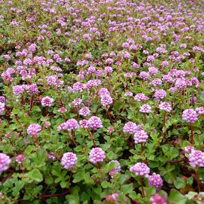Persicaria runcinata Needham's form -