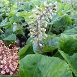 Groot hoefblad - Petasites hybridus
