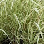 Phalaris arundinacea var. picta 'Feesey' - Rietgras - Phalaris arundinacea var. picta 'Feesey'