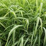 Phalaris arundinacea var. picta 'Luteopicta' - Rietgras, kanariegras - Phalaris arundinacea var. picta 'Luteopicta'