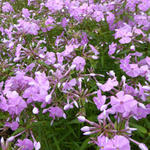 Phlox carolina 'Bill Baker' - Vlambloem