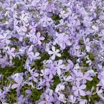 Phlox divaricata 'Clouds of Perfume'  - Phlox divaricata 'Clouds of Perfume'  - Vlambloem, Floks