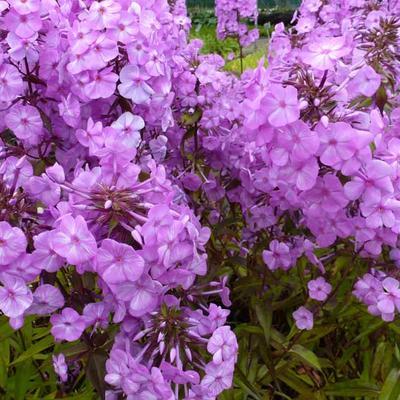 Phlox maculata 'Alpha' -