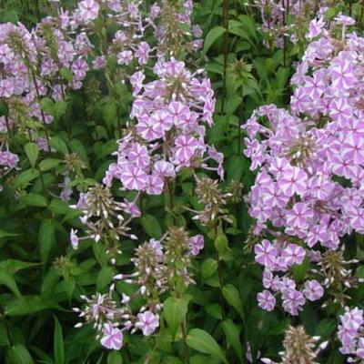 Phlox maculata 'Natascha' -
