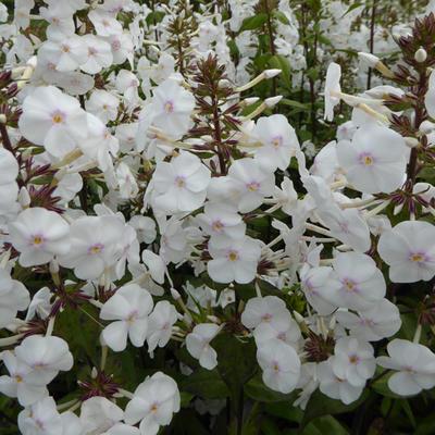 Phlox maculata 'Schneelawine' -
