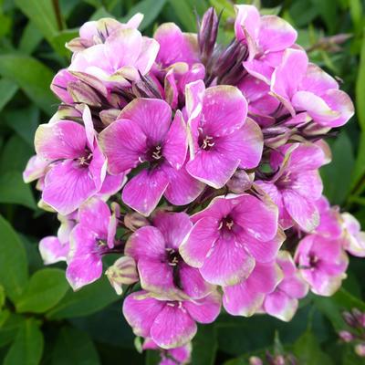 Phlox paniculata 'Aureole' -
