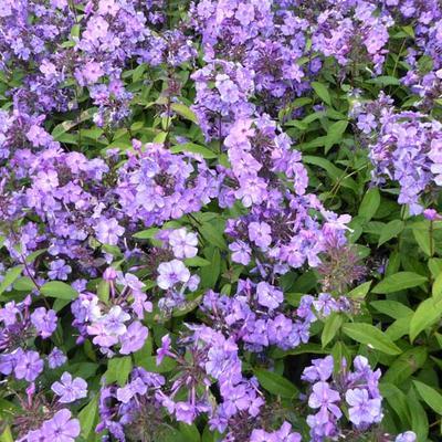 Phlox paniculata 'Blue Paradise' -