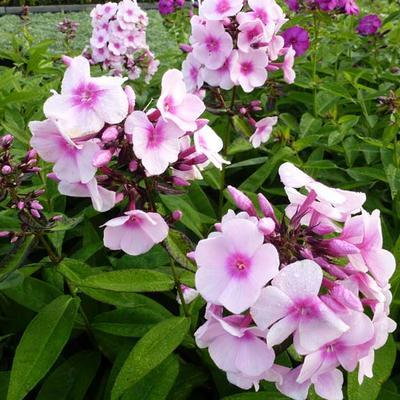 Phlox paniculata 'Bright Eyes' -