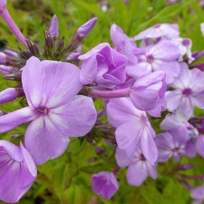 Phlox paniculata 'David's Lavender' -
