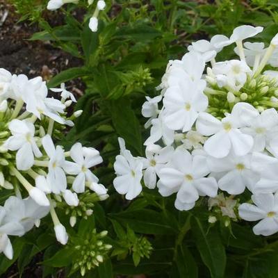 Phlox paniculata 'Fujiyama' - Floks, vlambloem - Phlox paniculata 'Fujiyama'