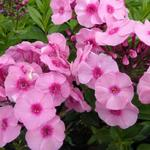 Vlambloem - Phlox paniculata 'Herbstwalzer'