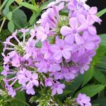 Phlox paniculata 'Jeana' - Vlambloem / Flox - Phlox paniculata 'Jeana'