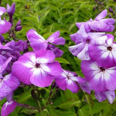 Phlox paniculata 'Uspekh' - Vlambloem, floks - Phlox paniculata 'Uspekh'