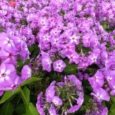 Phlox paniculata 'Lilac FLAME' -