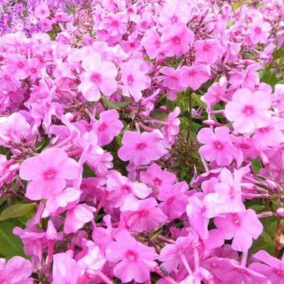 Phlox paniculata 'Pink FLAME' - Vlambloem, floks - Phlox paniculata 'Pink FLAME'