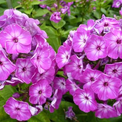 Phlox paniculata 'Purple Eye FLAME' - Vlambloem - Phlox paniculata 'Purple Eye FLAME'