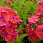 Phlox paniculata 'Red FLAME' - Vlambloem, floks - Phlox paniculata 'Red FLAME'