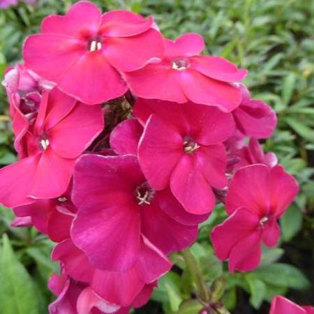 Phlox paniculata 'Septemberglut'