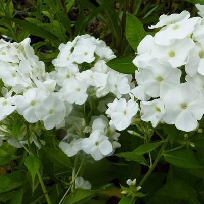 Phlox paniculata 'White Admiral' -
