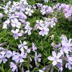 Phlox subulata 'Benita' - Kruipphlox - Phlox subulata 'Benita'
