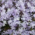 Phlox subulata 'Emerald Cushion Blue' - Kruipphlox - Phlox subulata 'Emerald Cushion Blue'