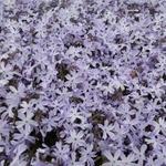 Phlox subulata 'G.F. Wilson' - Kruipphlox - Phlox subulata 'G.F. Wilson'
