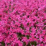Phlox subulata 'Scarlet Flame' - Kruipphlox - Phlox subulata 'Scarlet Flame'
