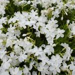 Phlox subulata 'White Delight' - Kruipphlox - Phlox subulata 'White Delight'