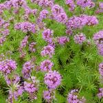 Perzische Kruisjesplant - Phuopsis stylosa