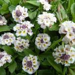 Phyla nodiflora - Phyla nodiflora - Kruipende verbena