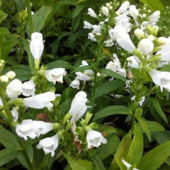 Physostegia virginiana 'Summer Snow'