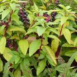 Phytolacca americana - Westerse karmozijnbes - Phytolacca americana