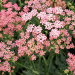 Pimpinella major 'Rosea' - Grote bevernel - Pimpinella major 'Rosea'