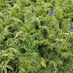 Polemonium caeruleum 'Brise d'Anjou´ - Jacobsladder - Polemonium caeruleum 'Brise d'Anjou´