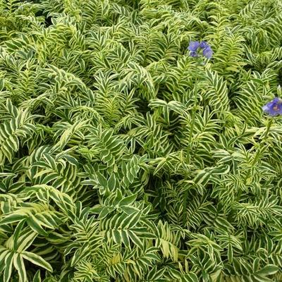 Polemonium caeruleum 'Brise d'Anjou' - Jacobsladder - Polemonium caeruleum 'Brise d'Anjou'