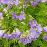 Polemonium caeruleum 'Lambrook Mauve' - Polemonium caeruleum 'Lambrook Mauve' - Jacobsladder