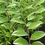Polygonatum falcatum 'Variegatum' - Salomonszegel - Polygonatum falcatum 'Variegatum'