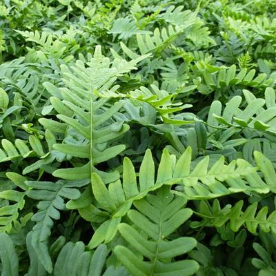 Polypodium vulgare - Gewone eikvaren - Polypodium vulgare