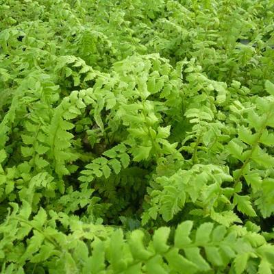 Polystichum aculeatum - Stijve naaldvaren - Polystichum aculeatum