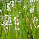 Pontederia cordata 'White Pike' - Moerashyacint, snoekkruid - Pontederia cordata 'White Pike'