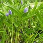 Pontederia lanceolata - Reuze snoekkruid - Pontederia lanceolata