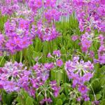Primula beesiana - Sleutelbloem - Primula beesiana