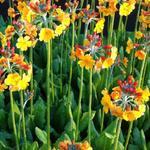 Sleutelbloem - Primula bulleyana