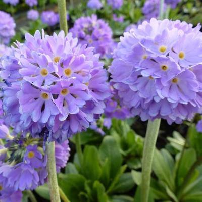 Primula denticulata var. cachemiriana - Sleutelbloem - Primula denticulata var. cachemiriana